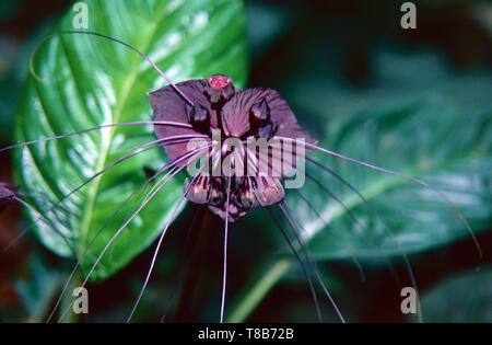 Black bat flower (Tocca chantrieri) from Myanmar - Stock Photo