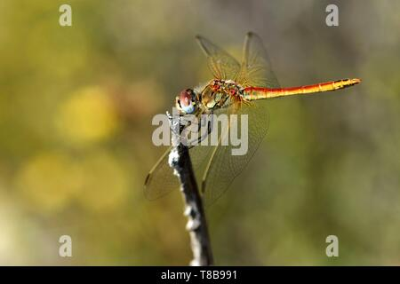 France, Var, Six Fours les Plages, Le Brusc, Gaou islands, dragonfly (Sympetrum fonscolombii), male - Stock Photo
