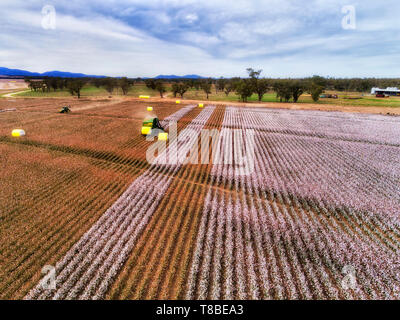 Cotton field with blossoming white boxes harvested by combine tractor and pressed into rolls to transport away from farm field in agricultural region  - Stock Photo