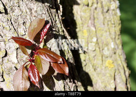 Emerging young red color leaves on a royalty crabapple tree trunk in spring - Stock Photo