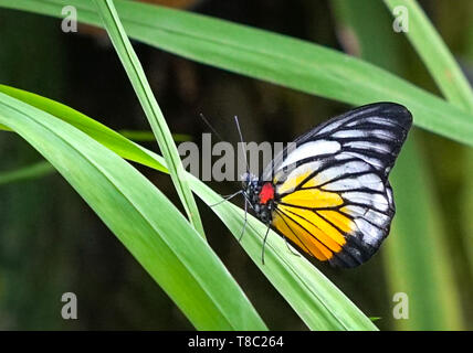 Beautiful Painted Jezebel butterfly resting on a green leaf in a garden or park - Stock Photo