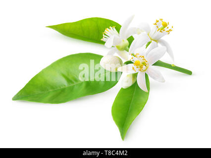Isolated orange blossoms. Blooming branch of orange tree with flowers and leaves isolated on white background with clipping path - Stock Photo