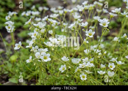 Saxifraga rosacea Irish Saxifrage blooming flowers, stoloniferous perennial herb. - Stock Photo