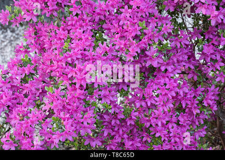 Rhododendron Nova Zembla pink flowers background, family: Ericaceae - Stock Photo