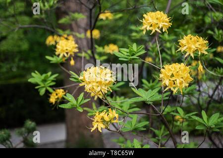 Rhododendron luteum Sweet, the Yellow Azalea or Honeysuckle Azalea, family: Ericaceae - Stock Photo