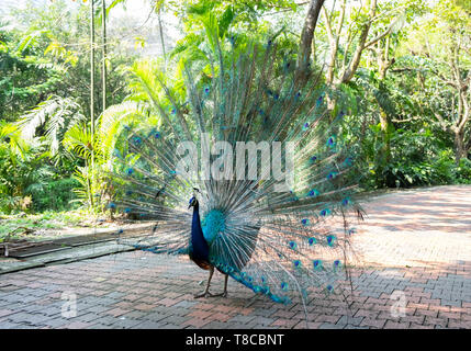 Peacock fanned out in  park at Kuala Lumpur, Malaysia - Stock Photo