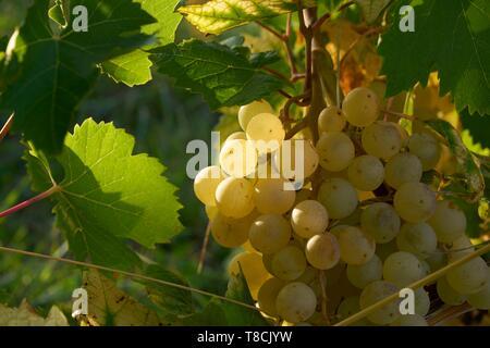 France, Tarn et Garonne, Moissac, Gilbert Lavilledieu producer of Chasselas de Moissac, close up of clusters of Chasselas - Stock Photo