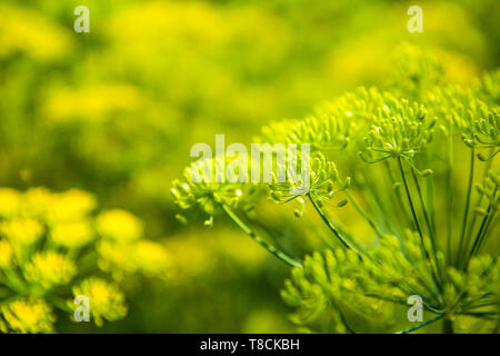 Dill plant in the garden. Fennel flower background. - Stock Photo