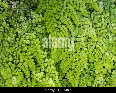 Himalayan maidenhair fern Adiantum venustum - Stock Photo