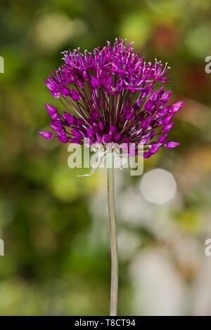 Allium hollandicum 'Purple Sensation' - Stock Photo