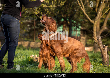 two Irish setters are sitting on the grass - Stock Photo