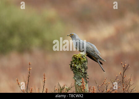 Male Common Cuckoo, Cuculus canorus, Dumfries and Galloway, Scotland, UK - Stock Photo