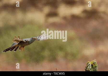 Male Common Cuckoo, Cuculus canorus, in flight, Dumfries and Galloway, Scotland, UK - Stock Photo