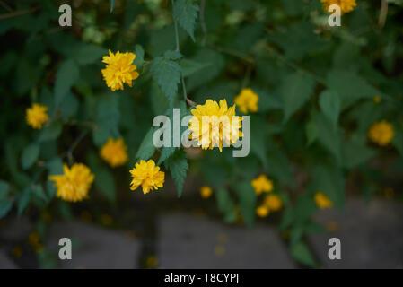 yellow flowers of Kerria japonica shrub - Stock Photo