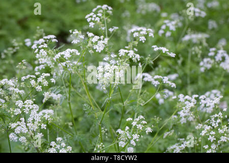 Anthriscus sylvestris. Cow parsley in an English garden. - Stock Photo