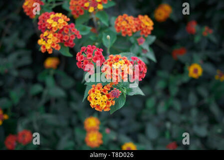 colorful flowers of Lantana camara shrub in summer - Stock Photo