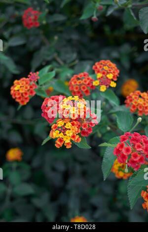 colorful flowers of Lantana camara shrub in summer - Stock Photo