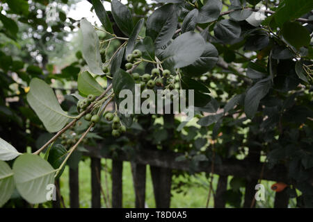 the mountain ash in the summer garden is waiting for its ripening - Stock Photo