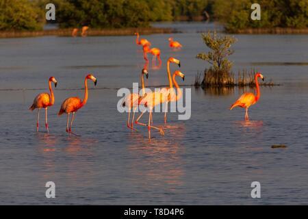 Cuba, Zapata Peninsula, Bay of Pigs, Las Salinas, UNESCO Biosphere Reserve, the largest wetland in Cuba and the Caribbean, flamingo (Phoenicopterus roseus) - Stock Photo
