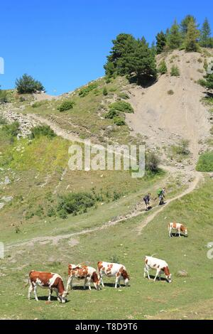 France, Hautes Alpes, Haut Champsaur, Ancelle, Col de Moissiere, hiking among cows in freedom - Stock Photo