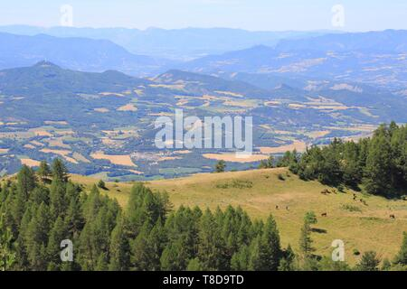 France, Hautes Alpes, Haut Champsaur, Ancelle, Col de Moissiere, hiking among cows in freedom - Stock Photo