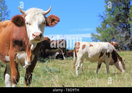 France, Hautes Alpes, Haut Champsaur, Ancelle, Col de Moissiere, cows at liberty in high mountain pastures - Stock Photo
