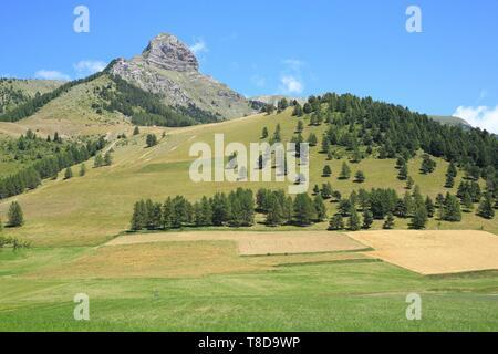 France, Hautes Alpes, Haut Champsaur, Ancelle, cereal fields - Stock Photo