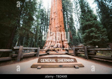 Scenic view of famous General Sherman Tree, by volume the world's largest known living single-stem tree, Sequoia National Park, California, USA - Stock Photo