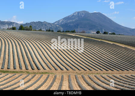 Lavender Field Patterns and Hill or Peak near Moustiers-Sainte-Marie in the Verdon Regional Park Provence France - Stock Photo