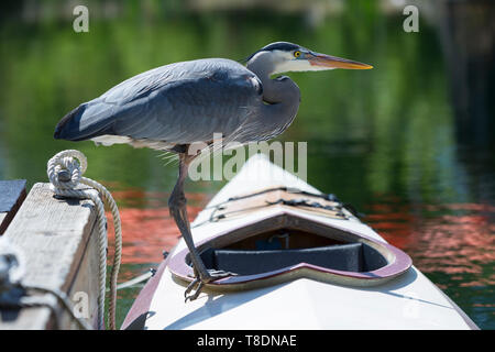 Seattle, Washington: A Great Blue Heron perches on a kayak at the Center for Wooden Boats in South Lake Union. - Stock Photo