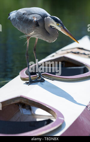 Seattle, Washington: A Great Blue Heron stalks prey while perched on a kayak at the Center for Wooden Boats in South Lake Union. - Stock Photo