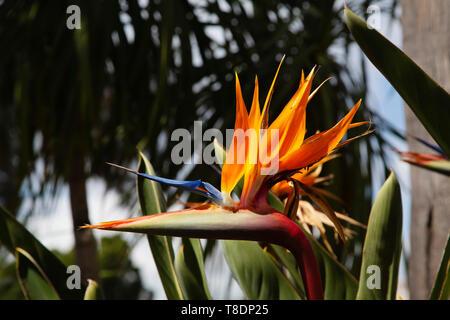 Bird of Paradise flower in a garden. Strelitzia reginae. Malaga province Costa del Sol. Andalusia, Southern Spain Europe - Stock Photo