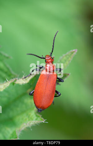 Red-headed cardinal beetle, also called common cardinal beetle (Pyrochroa serraticornis) on stinging nettle during May, UK - Stock Photo