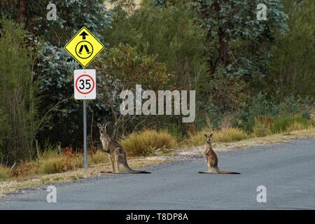 Macropus giganteus - Eastern Grey Kangaroo in Tasmania in Australia, Maria Island, Tasmania, crossing the road with child under the traffic sign. - Stock Photo