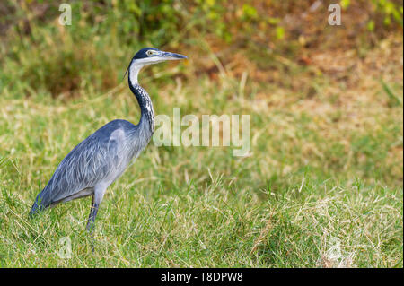 Black-headed heron Ardea melanocephala Ardeidae side view profile walking on grass Samburu National Reserve Kenya East Africa - Stock Photo
