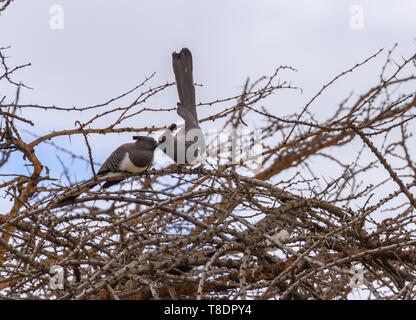 2 two White-bellied go-away-birds Corythaixoides leucogaster on tree top branch crest and long tails sky background Ol Pejeta Conservancy Kenya Africa - Stock Photo