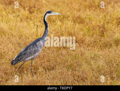 Black-headed heron Ardea melanocephala Ardeidae side view profile Ol Pejeta Conservancy walking on grass Kenya East Africa - Stock Photo