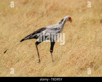 secretarybird secretary bird Sagittarius serpentarius close up walking savannah Masai Mara National Reserve Kenya East Africa - Stock Photo