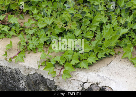 Ivy. Creeping shrubs clinging to their adventitious roots of the walls. Stock Photo