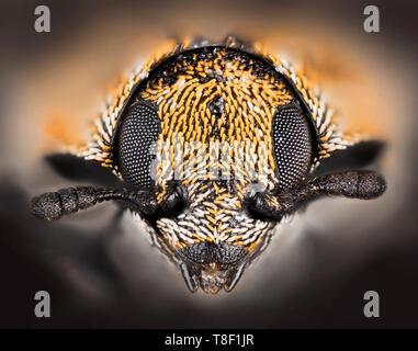 Varied carpet beetle (Anthrenus verbasci) is a 3 mm-long beetle belonging to the family Dermestidae, close-up head shot. - Stock Photo