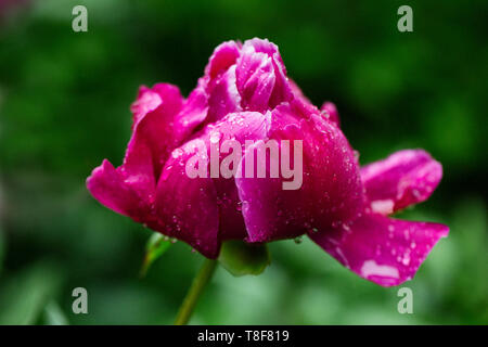 Beautiful dark pink peony with rain drops on the petals - Stock Photo