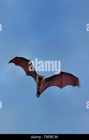 France, Mayotte island (French overseas department), Grande Terre, Nyambadao, Sakouli beach, Giant bat, called Seychelles flying fox (Pteropus seychellensis comorensis) - Stock Photo