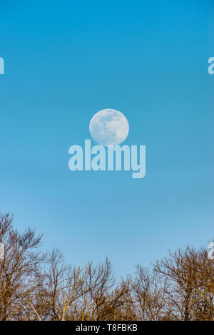 Super moon rising up above the trees in the winter. - Stock Photo