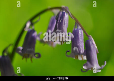 Close up of a Bluebell in my local park, Snuff Mills, Bristol. - Stock Photo