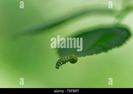 This Large Rose Sawfly (Arge ochropus) larvae, along with its family group stripped a whole branch of this Dog Rose (Rosa canina) over a few days. - Stock Photo