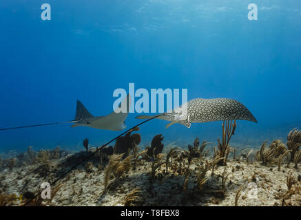 Pair of giant spotted eagle rays,,Aetobatus narinari,   with long whip tails  glide across colorful coral reef - Stock Photo