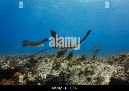 Pair of giant eagle rays, Aetobatus narinari, spotted, glide across colorful coral reef showing their long whip tails - Stock Photo