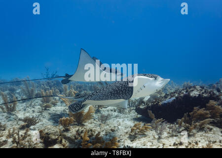 Close up of a pair of giant spotted,eagle rays,Aetobatus narinari,   gliding side by side across colorful coral reef - Stock Photo