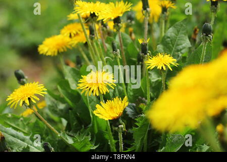 Yellow dandelion flowers (Taraxacum officinale). Dandelions field background on spring sunny day. Blooming dandelion. - Stock Photo