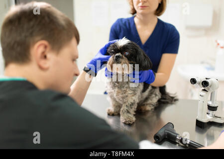 A veterinary ophthalmologist makes a medical procedure, examines the eyes of a dog with an injured eye and an assisent helps her to hold her head. A v - Stock Photo